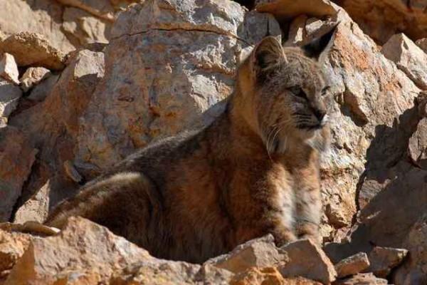 Lion des Montagnes